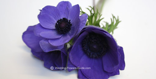close up of anemones - one of the popular blue wedding flowers